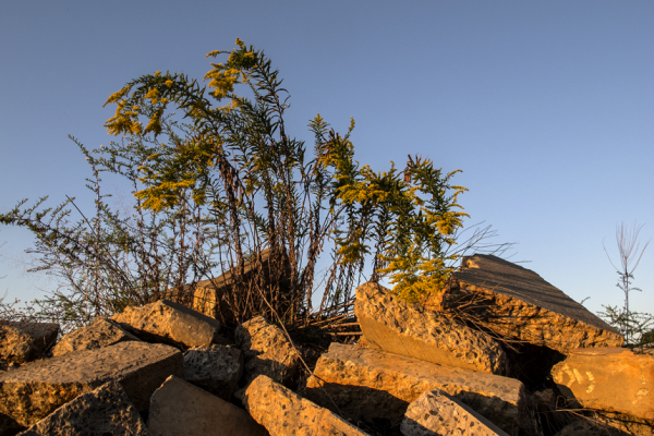 Goldenrod sprouting from concrete debris. Photo: Meredith Hebden